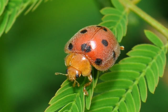 man eating ladybugs